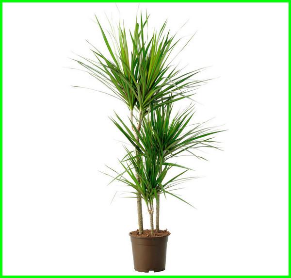tanaman yang cocok ruangan, tanaman dalam ruangan, tanaman didalam ruangan, tanaman dalam ruangan kantor, tanaman dalam ruangan terbaik,tanaman di ruangan tertutup, tanaman di ruang tamu
