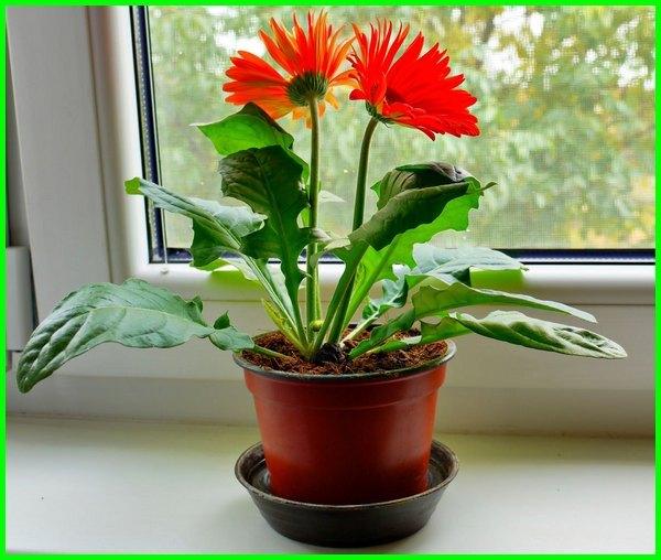 tanaman buat ruangan, tanaman buat ruang tamu, tanaman hias buat ruangan, tanaman hias bunga dalam ruangan, tanaman hias buat dalam ruangan, tanaman dalam ruangan minim cahaya, tanaman yang cocok ruangan