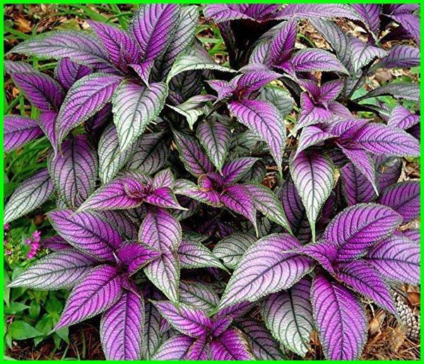 tanaman hias daun ungu, tanaman hias daun berwarna ungu, tanaman hias gantung daun ungu, tanaman hias daun ungu hijau, tanaman hias daun warna ungu, 7 jenis tanaman hias daun