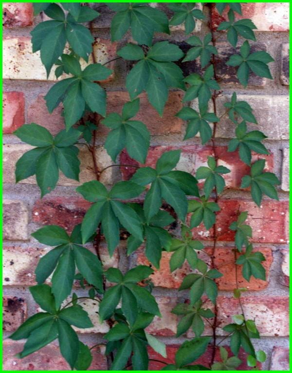 macam tanaman hias merambat, nama tanaman hias merambat, nama tanaman hias yang merambat, tanaman hias merambat tembok, tanaman hias merambat untuk dinding, tanaman hias merambat yang bagus, tanaman hias yang merambat, tanaman hias yg merambat, tanaman hias yang merambat di tembok
