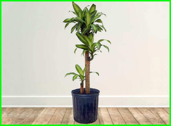 tanaman ruangan kantor, tanaman ruangan tertutup, tanaman ruangan rumah, tanaman ruangan ac, tanaman ruang tamu tanaman buat ruangan, tanaman hias yang tahan dalam ruangan, tanaman hias yg cocok didalam ruangan, tanaman hias yang cocok didalam ruangan