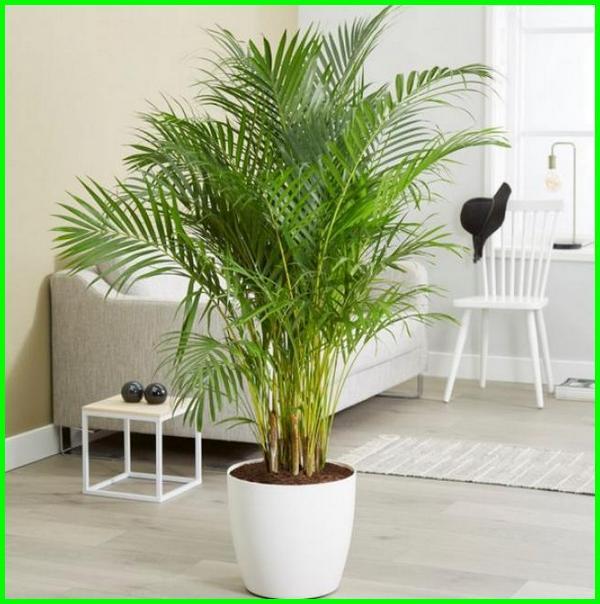 tanaman hiasan ruang tamu, tanaman hias ruangan kantor, tanaman hias dalam ruangan rumah, tanaman interior ruangan, tanaman indoor ruangan, tanaman indoor penyejuk ruangan, tanaman khusus ruangan