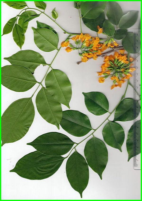tanaman khas myanmar, tanaman negara myanmar