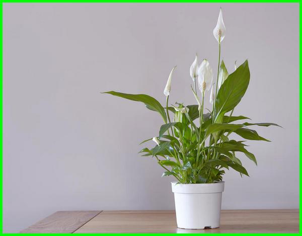 tanaman ruangan kantor, tanaman ruangan tertutup, tanaman ruangan rumah, tanaman ruangan ac, tanaman ruang tamu, tanaman agar ruangan tidak lembab, tanaman hias air dalam ruangan
