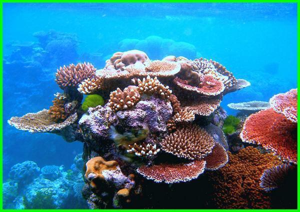 apa itu terumbu karang, apa terumbu karang itu, apakah terumbu karang makhluk hidup, apakah terumbu karang itu, apakah terumbu karang bisa diperbaharui, maksud terumbu karang, bagaimana terumbu karang terbentuk, apa yang dimaksud dengan terumbu karang, dimana terumbu karang dapat hidup