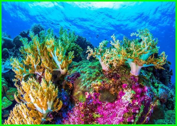 terumbu karang berfungsi untuk, terumbu karang bermanfaat sebagai, manfaat terumbu karang ekologis, terumbu karang fungsinya, terumbu karang fungsi ekologis, fungsi terumbu karang secara ekonomis, foto terumbu karang, terumbu karang gambar, kepentingan terumbu karang geografi
