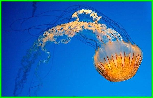ubur beracun di indonesia pantai dunia biru tidak paling kotak gambar parangtritis apakah jenis