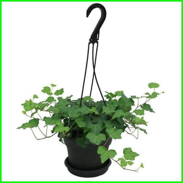 jenis tanaman hias gantung daun, jenis tanaman hias gantung tahan panas, jenis jenis tanaman hias gantung
