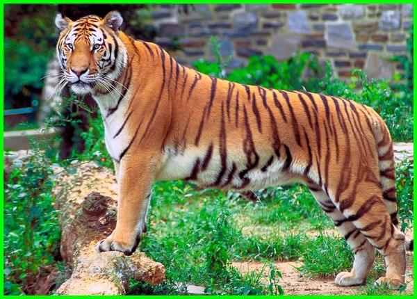 hewan harimau dan keterangannya, gambaran hewan harimau, habitat hewan harimau, identifikasi hewan harimau, klasifikasi hewan harimau, karakteristik hewan harimau