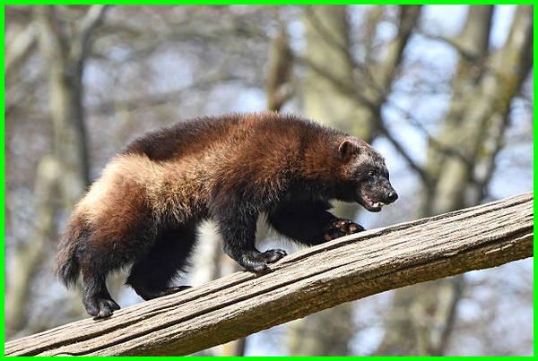 hewan wolverine adalah, gambar hewan wolverine, fakta hewan wolverine, wolverine adalah hewan, apa itu hewan wolverine
