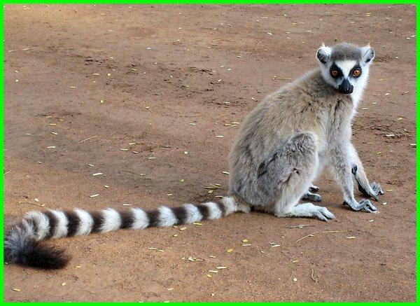 binatang ekor panjang, hewan berekor panjang, binatang ekor panjang togel, binatang ekor panjang berkembang biak, nama hewan ekor panjang, kartun hewan ekor panjang, hewan ekor nya panjang