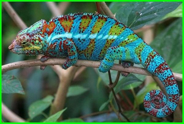 cara merawat bunglon chameleon, cara mencari bunglon chameleon, cara hidup bunglon, cara memelihara bunglon kecil, cara merawat bunglon kebun, cara menjinakan bunglon kebun, cara memelihara bunglon surai, cara memelihara bunglon luar negeri, cara merawat bunglon anakan