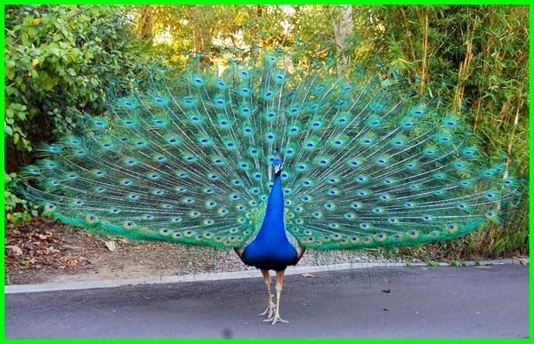 burung asal india, burung merak dalam bahasa india, jenis burung di india, burung asal dari india, burung yang ada di india, gambar burung merak india