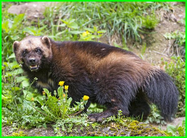 hewan wolverine adalah, gambar hewan wolverine, fakta hewan wolverine, apa itu hewan wolverine, binatang wolverine, binatang wolverine adalah, wolverine hewan