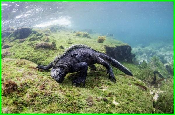 hewan herbivora di air, herbivora yang hidup di air