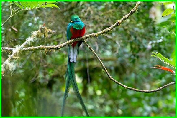 binatang ekor panjang, burung yang ekornya panjang, burung berekor panjang, binatang ekor panjang berkembang biak, nama hewan ekor panjang, hewan ekor nya panjang, hewan yang ekor panjang