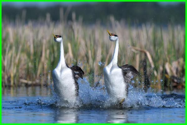 hewan berlari di air