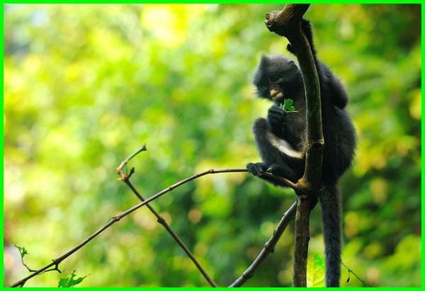 hewan khas singapura, hewan di singapura, hewan langka singapura, hewan endemik singapura, hewan asli singapura, hewan dari singapura