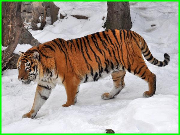 nama ilmiah hewan harimau adalah, asal hewan harimau, adaptasi hewan harimau, aktivitas hewan harimau, hewan buas harimau, ciri hewan harimau, contoh hewan harimau, ciri ciri hewan harimau, foto hewan harimau, fakta hewan harimau, gambar hewan harimau