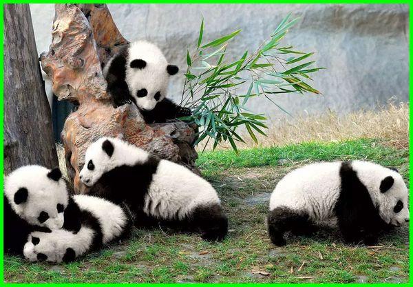 hewan khas china, hewan endemik china, hewan nasional china, hewan dari china, nama hewan china, hewan yang berasal dari china, hewan yang ada di china, hewan di china, china kloning hewan