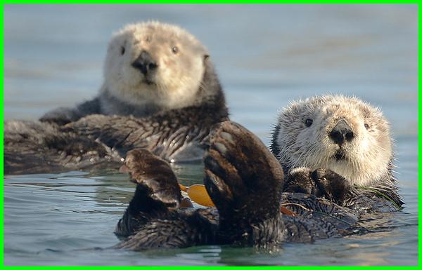 hewan mamalia air dan darat, hewan mamalia air bernapas dengan,hewan mamalia air tawar, hewan mamalia air contohnya, hewan mamalia air yang bernapas dengan paru-paru, contoh hewan mamalia air, hewan yang termasuk mamalia air adalah, hewan berikut yang termasuk mamalia air adalah, hewan berikut yg termasuk mamalia air adalah