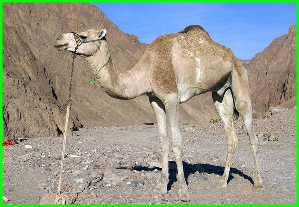 hewan khas arab saudi, hewan yang hidup di arab saudi, hewan yang ada di arab saudi, hewan yang berasal dari arab saudi, hewan di arab saudi, hewan endemik arab saudi
