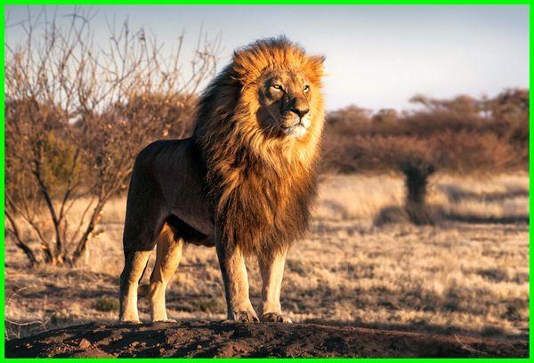 hewan khas belanda, hewan nasional belanda, hewan dari belanda, hewan endemik belanda, hewan khas negara belanda, hewan nasional negara belanda, hewan khas di belanda, nama hewan bahasa belanda