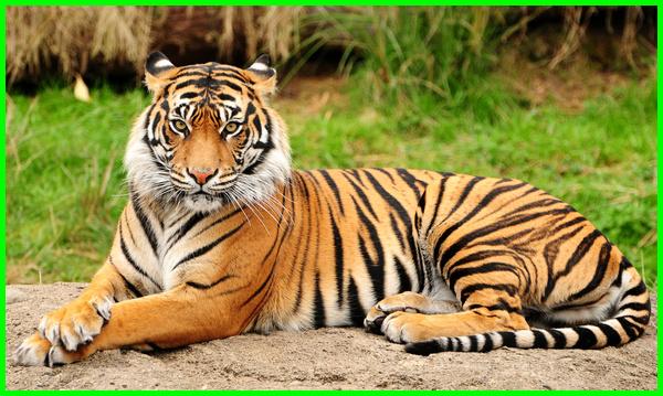hewan khas india, hewan nasional negara india, hewan di india, hewan mitologi india, hewan khas india dan bangladesh, hewan endemik india, persebaran hewan di india, hewan yang ada di india