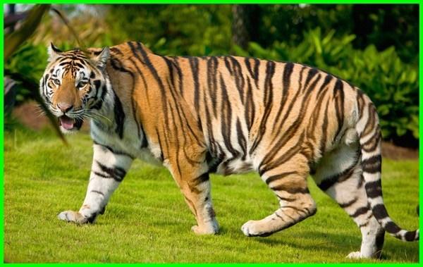 hewan khas malaysia, hewan nasional malaysia, hewan dari malaysia, hewan negara malaysia, hewan khas di malaysia, gambar hewan khas malaysia, hewan nasional negara malaysia, hewan simbol negara malaysia, lambang hewan negara malaysia