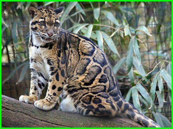 Macan Dahan/ Clouded Leopard (Neofelis nebulosa)
