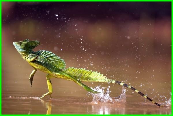 hewan berjalan diatas air, hewan berjalan di air, hewan yang berjalan diatas air, hewan yang bisa berjalan diatas air, menirukan gerak hewan berjalan di air dengan melompat adalah, gerak menirukan hewan berjalan di air disebut gerak, bagaimana cara menirukan gerak hewan berjalan di air, cara bermain menirukan gerakan hewan berjalan di air