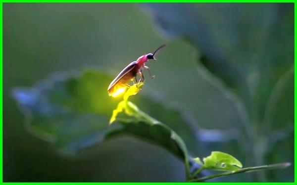 hewan yang menghasilkan cahaya, hewan yang suka cahaya, hewan yang memancarkan cahaya, hewan yang memancarkan cahaya pada malam hari