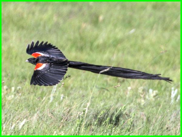 burung ekor panjang warna hitam, burung berekor panjang, binatang ekor panjang, hewan berekor panjang, binatang ekor panjang, hewan ekor nya panjang, hewan yang ekor panjang