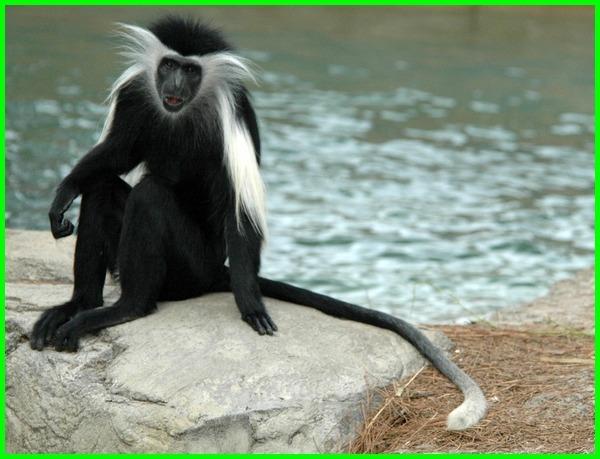 binatang ekor panjang, hewan berekor panjang, nama hewan ekor panjang, hewan ekor nya panjang