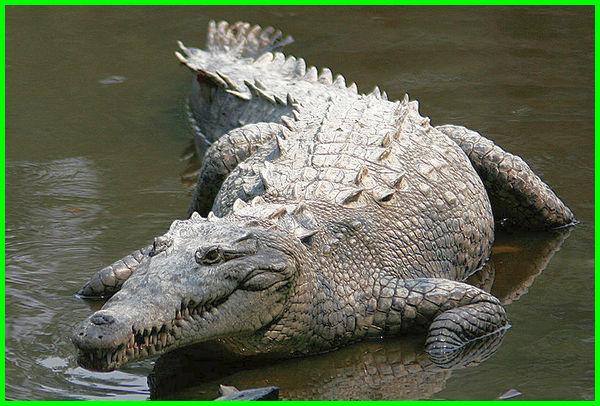 hewan yang hidup di darat dan air adalah, ciri ciri hewan darat dan air beserta gambarnya, ciri hewan darat dan air, binatang darat dan air, hewan darat dan hewan air, hewan hidup darat dan air, jenis hewan darat dan air