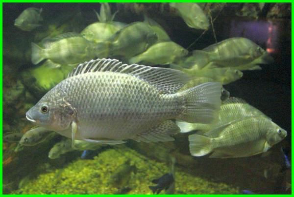 ikan herbivora air tawar, jenis ikan herbivora air tawar, jenis ikan herbivora air laut, ikan hias herbivora air tawar, hewan herbivora di air