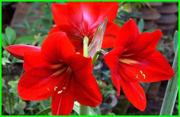 jenis bunga lily dan gambarnya, jenis bunga lily merah, jenis bunga lili paris, jenis bunga peace lily, macam jenis bunga lily, aneka jenis bunga lily, bunga lili tumbuhan jenis bawang besar, jenis bunga tulip di indonesia, jenis jenis bunga lily