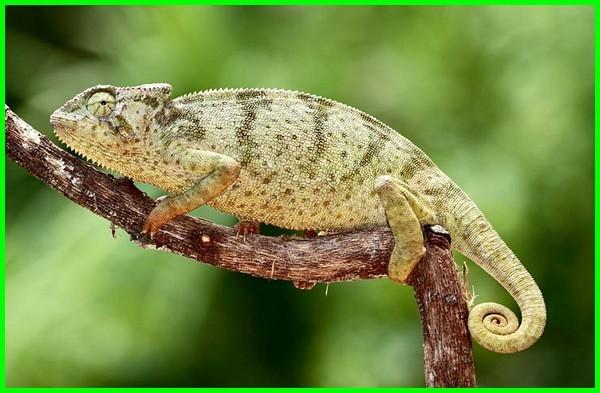 macam2 jenis bunglon, jenis bunglon dan harga nya, jenis bunglon piaraan, jenis hewan reptil bunglon, jenis spesies bunglon, jenis warna bunglon