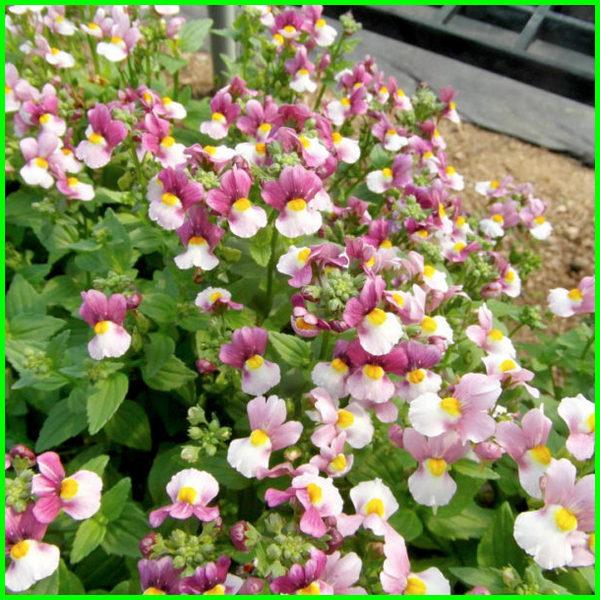 ide tanaman hias gantung, jenis tanaman hias gantung, jenis2 tanaman hias gantung