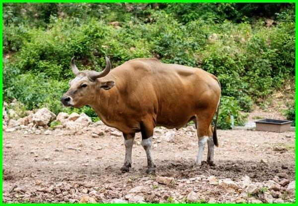 nama hewan dari kamboja, hewan yang ada di kamboja, jenis hewan endemik kamboja, nama hewan khas kamboja, hewan ciri khas kamboja, nama hewan negara kamboja