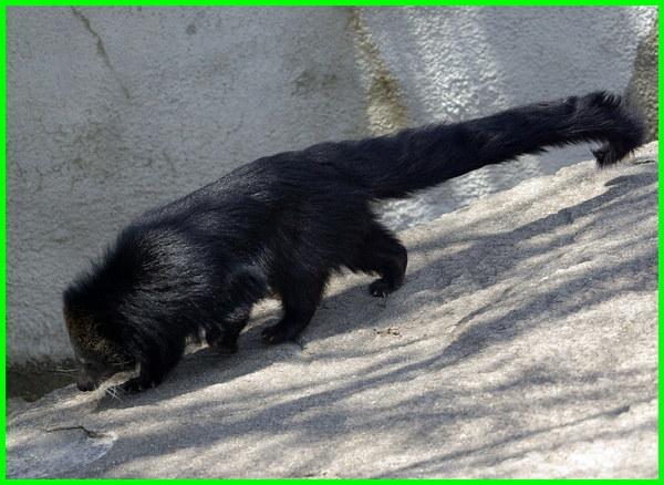binatang ekor panjang, hewan berekor panjang, binatang ekor panjang berkembang biak