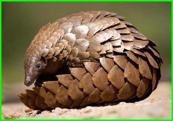 hewan asal kamboja, hewan langka di kamboja brainly, nama hewan di kamboja, hewan yang ada di kamboja, jenis hewan endemik kamboja, nama hewan khas kamboja, hewan ciri khas kamboja, hewan dan tumbuhan khas kamboja, nama hewan negara kamboja