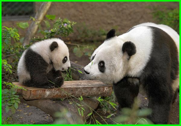 hewan bodoh dan pemalas, hewan bodoh di dunia, hewan paling bodoh, hewan paling bodoh di dunia, hewan yg bodoh, panda hewan bodoh