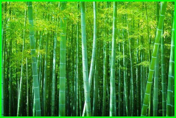 tanaman cepat tumbuh besar, tanaman yang cepat tumbuh, tanaman yang cepat tumbuh dan menguntungkan, tanaman yg cepat tumbuh, tanaman yang cepat tumbuh untuk penelitian, tanaman paling cepat tumbuh, pohon cepat tumbuh besar