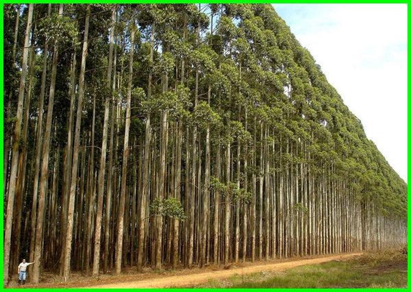 pohon yang cepat tumbuh tinggi, pohon cepat tumbuh besar, pohon yang cepat tumbuh besar, pohon yg cepat tumbuh besar