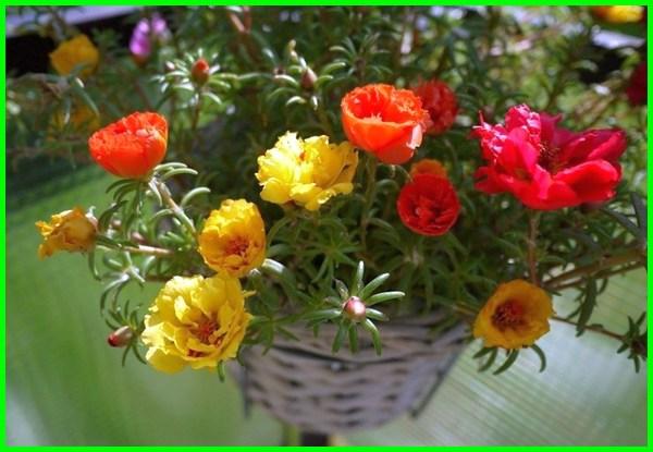 nama tanaman hias gantung dan gambarnya