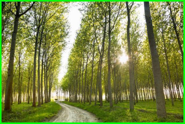 pohon cepat tumbuh besar, pohon yang cepat tumbuh besar, pohon yg cepat tumbuh besar, jenis tanaman yang cepat tumbuh, jenis tanaman yg cepat tumbuh, tanaman peneduh cepat tumbuh, pohon yang cepat tumbuh tinggi