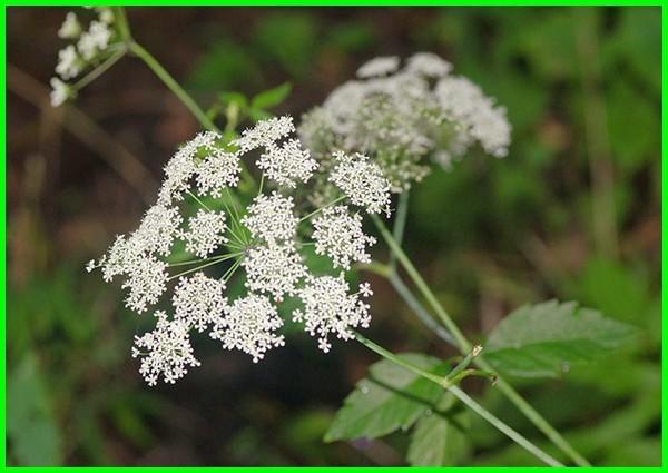 tanaman hias beracun di sekitar kita, tanaman hias beracun mematikan, jenis tanaman hias yang mengandung racun, tanaman hias paling beracun