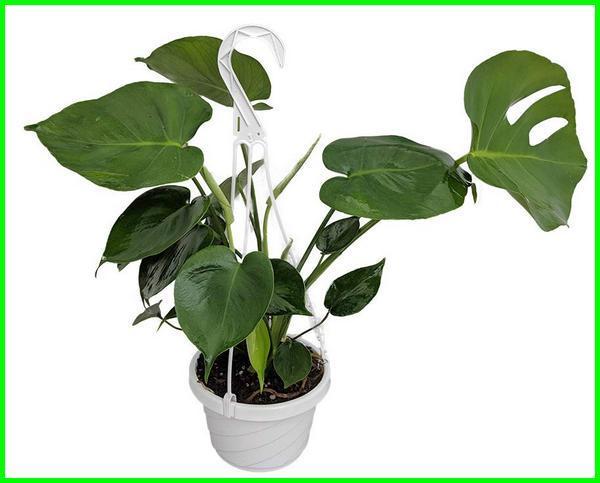 tanaman hias gantung daun, jenis tanaman hias gantung daun, tanaman hias daun gantung tahan panas