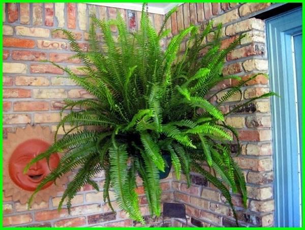 tanaman hias gantung pakis boston, tanaman hias gantung pakis